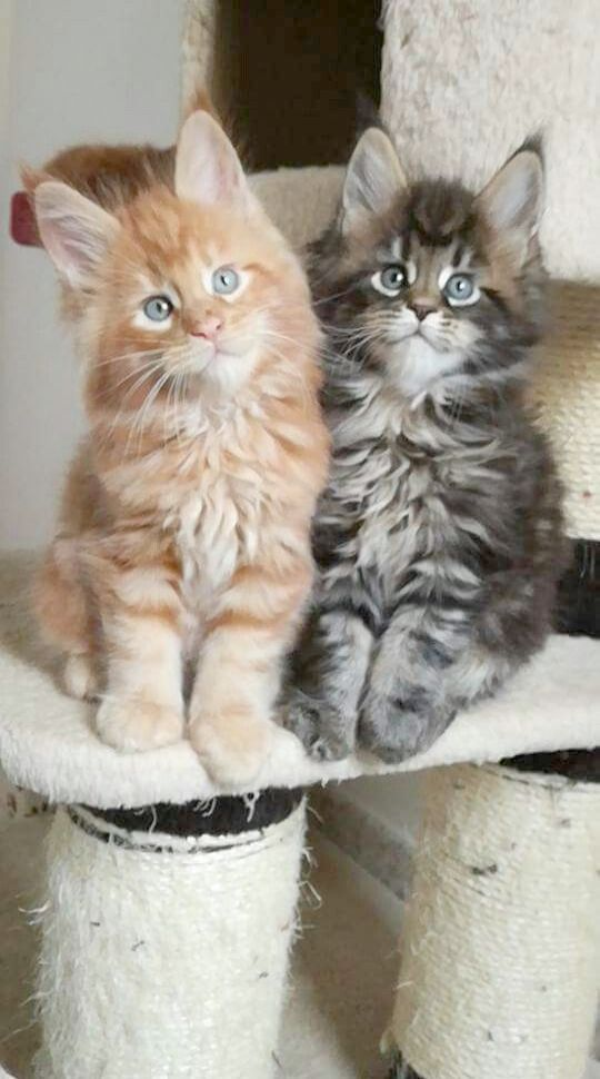 Siamese Kittens For Sale Near Me Craigslist - Pets and ...