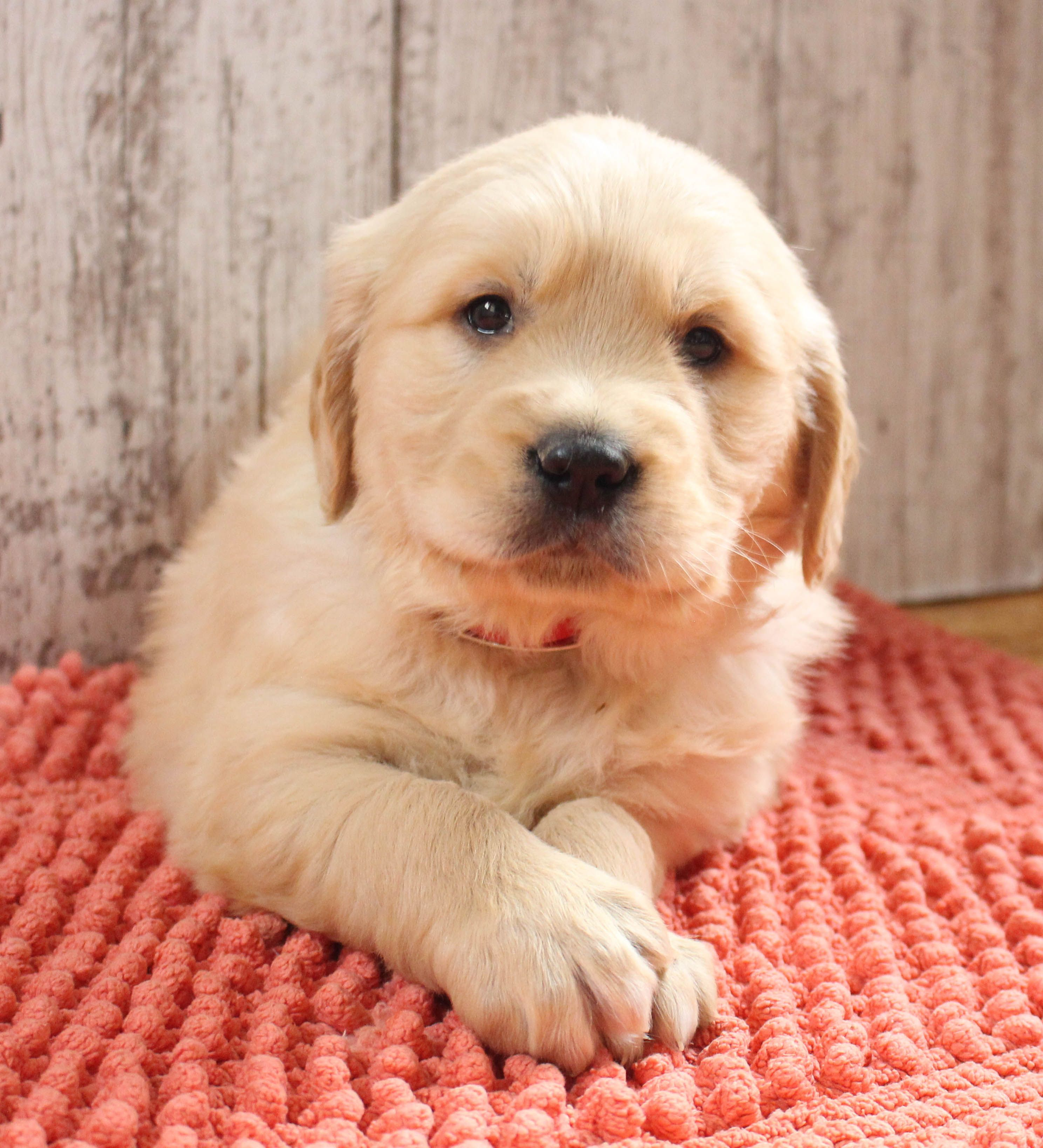 Golden Retriever Puppies Near Me Rescue - Pets and Anima