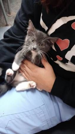 Craigslist Chicago Pets Kittens - Pets and Animal Educations